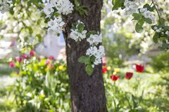 Appletree and apple tree flowers in spring ,tulips in garden in. Appletree and apple tree flowers in spring , tulips in garden in background.Latvia Stock Image