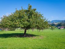 Appletree. Apple tree with lots of red apples on branches. Autumn, blue sky without clouds Stock Image