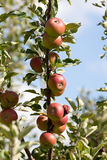Appletree. Apple on tree with ripe fruits Royalty Free Stock Photo
