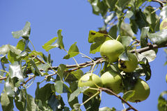 Appletree. Apples on appletree with blue sky Stock Image
