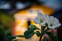 Appletree blomma framme av ladugården Arkivfoton