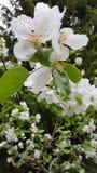 Appletree blommor Arkivbilder