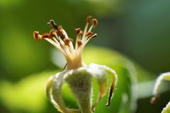 Appletree blomning Fotografering för Bildbyråer