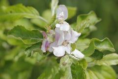 Appletree blomningar Royaltyfria Bilder