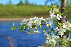 Appletree blomningar Royaltyfri Bild