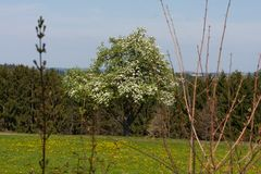 Appletree bloom in south germany Royalty Free Stock Photos