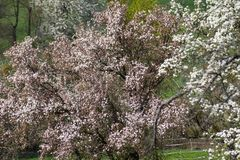 Appletree bloom in south germany. Strong white bloom on green fields on a sunny spring day in south germany countryside Stock Image