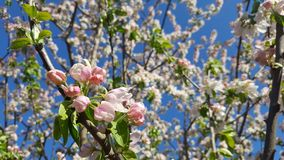 Appletree blooming Stock Image