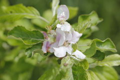 Appletree blossoms Royalty Free Stock Images