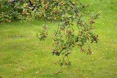 Appletree filial med massor av äpplen Arkivbilder