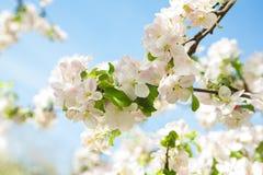 Appletree flovers på bakgrund av blå himmel Fotografering för Bildbyråer