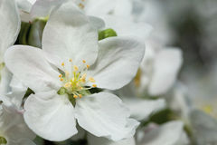 Appletree flower. Close-up of appletree flower Stock Photography