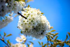 Appletree flower Bright white Royalty Free Stock Photography