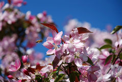 Appletree flowers. Pink and white appletree flowers with bee Stock Photo