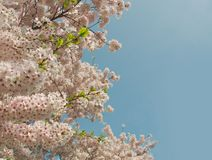 Appletree flowers against blue spring sky Royalty Free Stock Photo