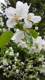 Appletree flowers Stock Images