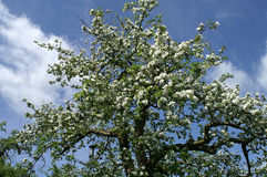 An appletree, full of blossom in springtime. Stock Photos