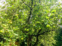 Appletree. Green appletree in Summer Nature Stock Photo