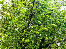 Appletree. Green appletree in Summer Nature Royalty Free Stock Image