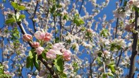 Appletree het bloeien Stock Afbeelding
