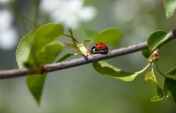 appletree ladybug Στοκ Εικόνα