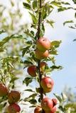 Appletree med det röda äpplet Fotografering för Bildbyråer