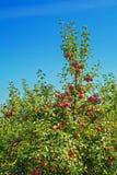 Appletree med jordbruks- begrepp för röda äpplen Arkivfoton