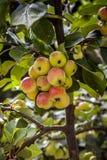 Appletree med organiska äpplen Royaltyfria Bilder