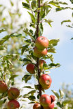 Appletree with red apple. Apple on tree with ripe fruits Stock Image