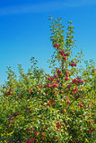 Appletree with red apples agricultural concept Stock Photos