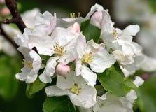 appletreen blommar white Arkivfoto