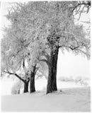 appletrees下了雪 免版税库存照片