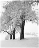 Appletrees nevado   foto de archivo libre de regalías