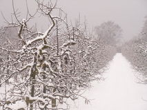 Appletrees with snow Stock Images