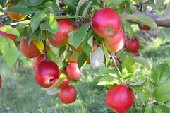 Applewood Orchards Royalty Free Stock Photography
