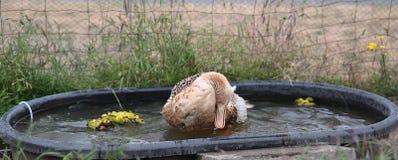 Appleyard Duck Bathing in Ton royalty-vrije stock fotografie
