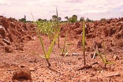 Application d'engrais à la jeune plante de canne à sucre Photo libre de droits