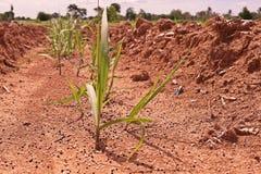 Application d'engrais à la jeune plante de canne à sucre Photographie stock libre de droits