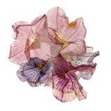 Application des pétunias colorés pressés Image libre de droits