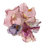 Application of pressed colorful petunias. Application of dried pressed colorful petunias Royalty Free Stock Image