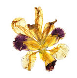 Application of  pressed motley multicolored iris Stock Images