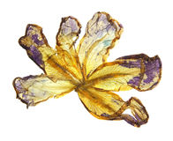 Application of pressed motley multicolored iris Royalty Free Stock Photography