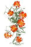 Application, un bouquet des fleurs sèches de calendula et feuilles o Photos libres de droits