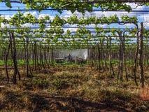 applicazione degli antiparassitari nella piantatura dell'uva Immagine Stock