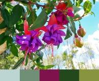 Applicera en palett till en blommande violett fuchsiabild fotografering för bildbyråer