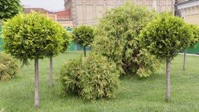 Applikation av den klotformiga strimlade thujaen i en landskapdesign Royaltyfri Bild