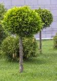 Applikation av den klotformiga strimlade thujaen i en landskapdesign Royaltyfri Fotografi