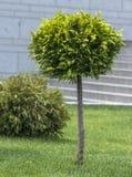 Applikation av den klotformiga strimlade thujaen i en landskapdesign Royaltyfria Foton
