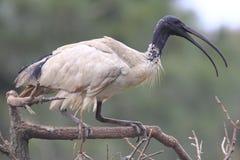 Appollaiarsi bianco dell'uccello dell'Ibis Fotografia Stock Libera da Diritti