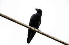 Appollaiarsi del corvo Immagine Stock Libera da Diritti